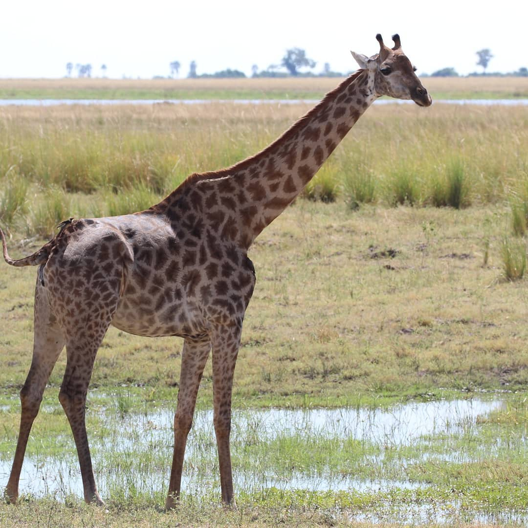 Tlou Safari Lodge - Giraffe
