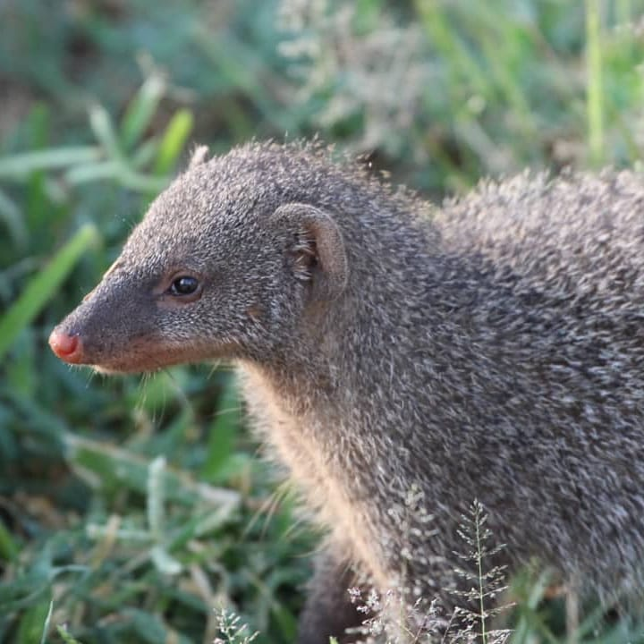 Tlou Safari Lodge - Indian Grey Mongoose